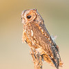 Flamulated Owl  (captive)