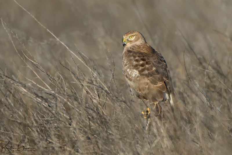 Sub-adult Male Northern Harrier
