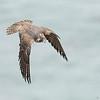 Peregrine Falcon Dive