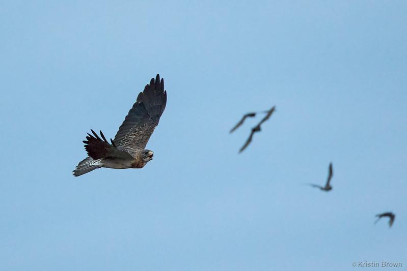 Swanson's Hawk on the (bat) hunt!