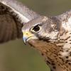 Sunny, Prairie Falcon avian ambassador for Hawks Aloft (captive and non releasable)