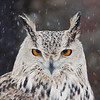 """An eagle-owl looking unimpressed with a photographer at Sunkar Raptor Sanctuary in Almaty, Kazakhstan.<br /> <br /> It's tough getting donations to Kazakhstan! Your donation goes to WWF HK, who run the Mai Po Wetlands Nature reserve for wild birds in Hong Kong.<br /> <a href=""""http://www.wwf.org.hk"""">http://www.wwf.org.hk</a>"""