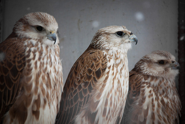 "As well as breeding for traditional Kazakh hunting, the Sunkar Raptor Sanctuary in Almaty also breeds the endangered saker falcon.<br /> <br /> It's tough getting donations to Kazakhstan! Your donation goes to WWF HK, who run the Mai Po Wetlands Nature reserve for wild birds in Hong Kong. <a href=""http://www.wwf.org.hk"">http://www.wwf.org.hk</a>"