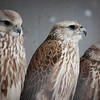 """As well as breeding for traditional Kazakh hunting, the Sunkar Raptor Sanctuary in Almaty also breeds the endangered saker falcon.<br /> <br /> It's tough getting donations to Kazakhstan! Your donation goes to WWF HK, who run the Mai Po Wetlands Nature reserve for wild birds in Hong Kong. <a href=""""http://www.wwf.org.hk"""">http://www.wwf.org.hk</a>"""