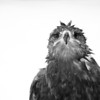"""A steppe eagle looking for a towel at Sunkar Raptor Sanctuary in Almaty, Kazakhstan.<br /> <br /> It's tough getting donations to Kazakhstan! Your donation goes to WWF HK, who run the Mai Po Wetlands Nature reserve for wild birds in Hong Kong.<br /> <a href=""""http://www.wwf.org.hk"""">http://www.wwf.org.hk</a>"""