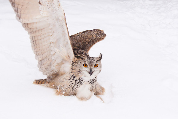 "An eagle-owl takes time out for break-dancing at Sunkar Raptor Sanctuary in Almaty, Kazakhstan.<br /> <br /> It's tough getting donations to Kazakhstan! Your donation goes to WWF HK, who run the Mai Po Wetlands Nature reserve for wild birds in Hong Kong.<br /> <a href=""http://www.wwf.org.hk"">http://www.wwf.org.hk</a>"