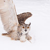 """An eagle-owl takes time out for break-dancing at Sunkar Raptor Sanctuary in Almaty, Kazakhstan.<br /> <br /> It's tough getting donations to Kazakhstan! Your donation goes to WWF HK, who run the Mai Po Wetlands Nature reserve for wild birds in Hong Kong.<br /> <a href=""""http://www.wwf.org.hk"""">http://www.wwf.org.hk</a>"""