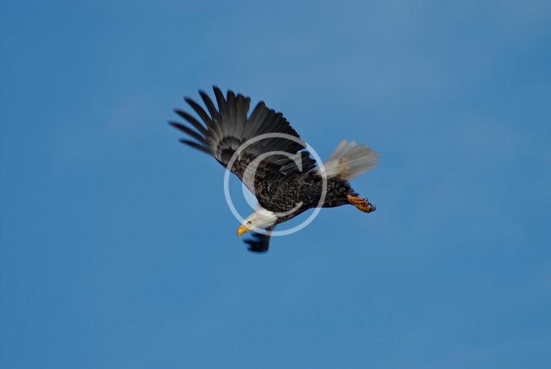 American Bald Eagle in Flight near Ridgway Colorado