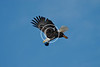 American Bald Eagle in Flight near Ridgway Colorado
