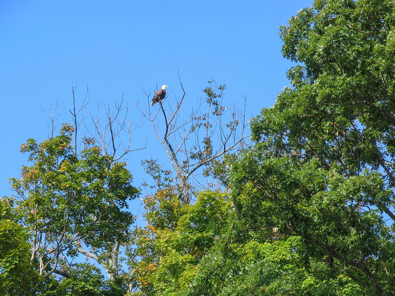 Bald Eagle, Lake Nockamixon - September 2004