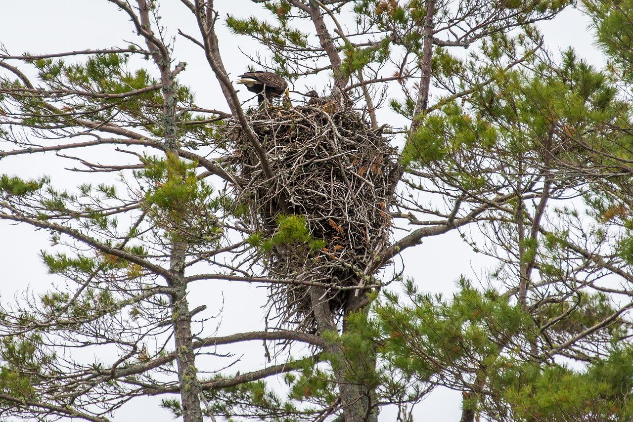 Eagle attending to two chicks in massive nest on Big Lake, Grand Lake Stream, Maine - June 2015