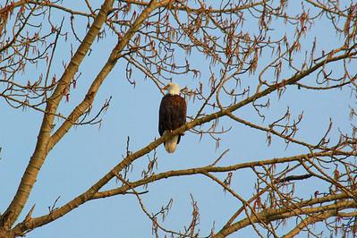 Bald Eagle - Profile