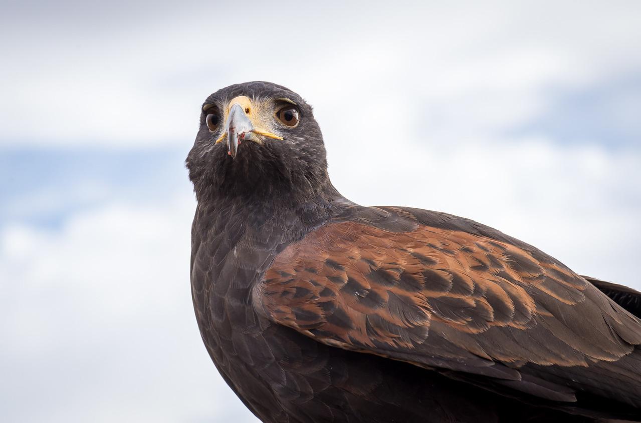 Close-up of Harris's Hawk, Arizona-Sonora Desert Museum, Tucson - December 2017