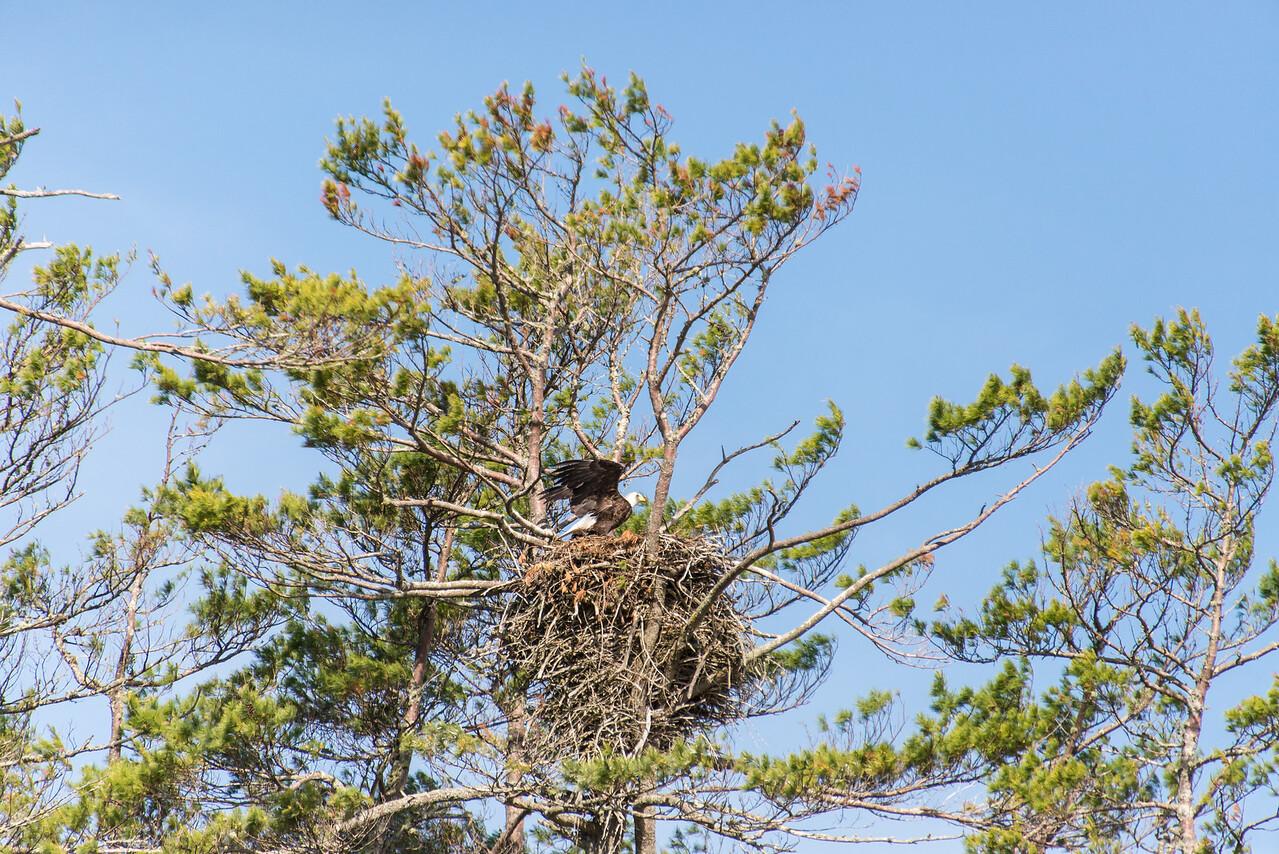 Eagle preparing for takeoff on Big Lake, Grand Lake Stream, Maine - June 2015