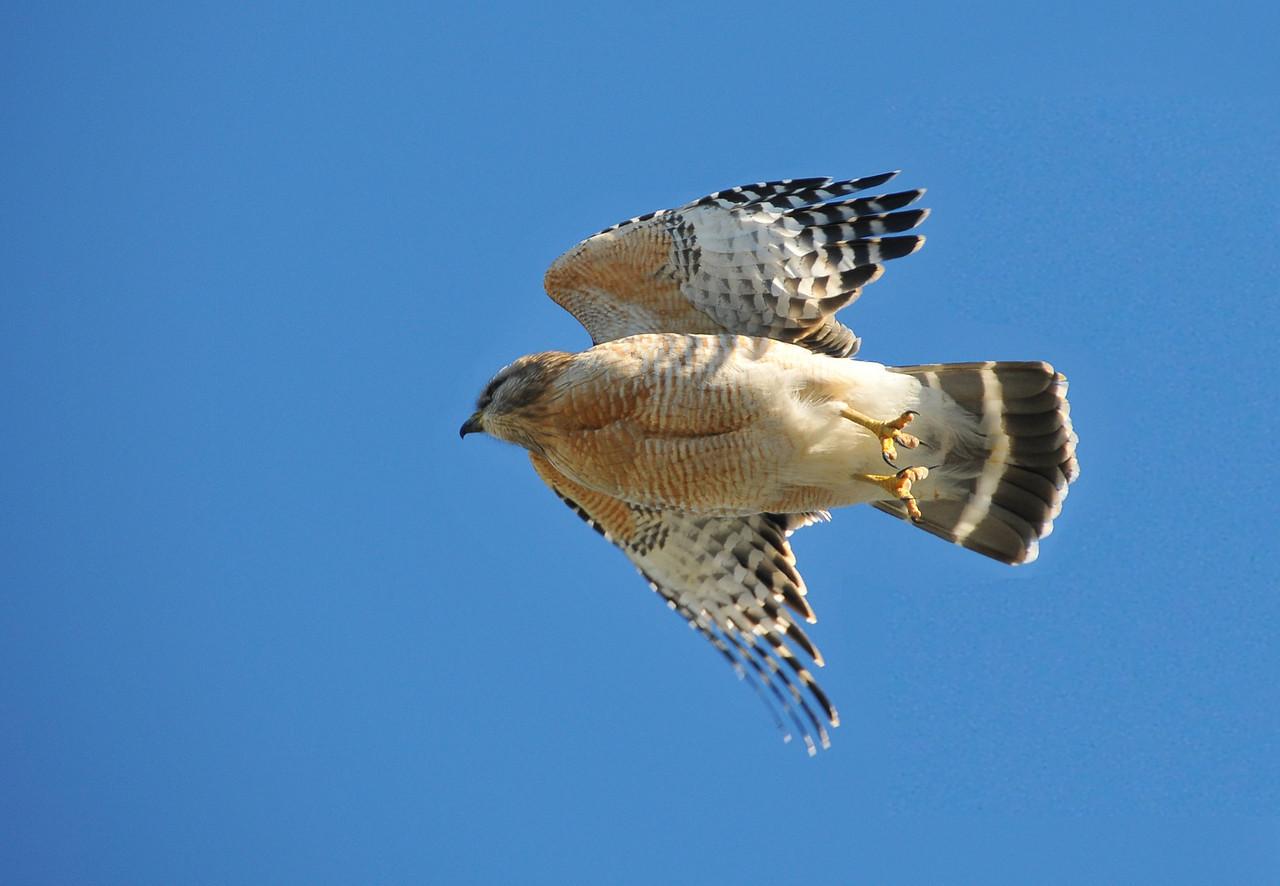 Red-Shouldered Hawk in flight, Florida Everglades - December 2012
