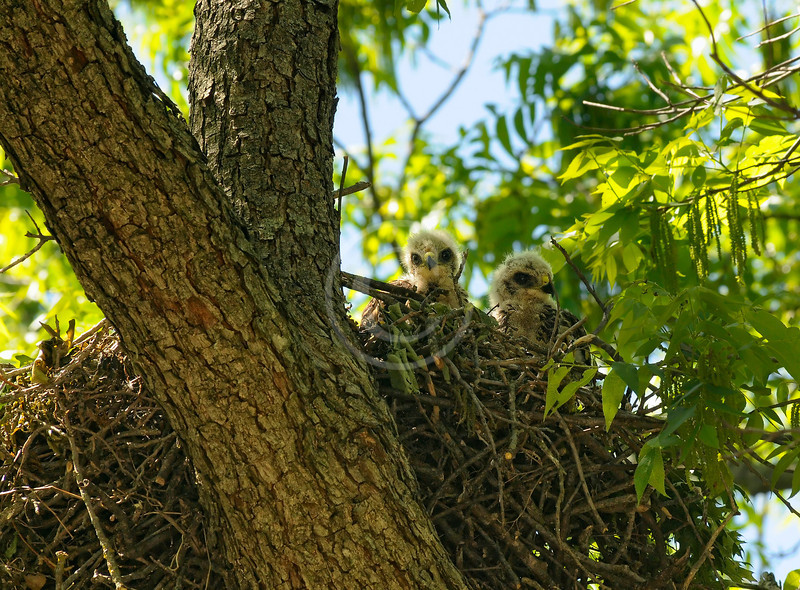Red Tailed Hawk babies in the nest