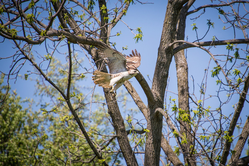 Red-Tailed Hawk - Wilson Farm Park - May 2013