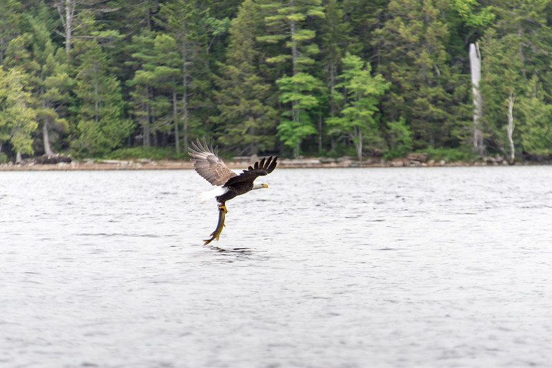Eagle with large Pickerel on Big Lake, Grand Lake Stream, Maine - June 2015