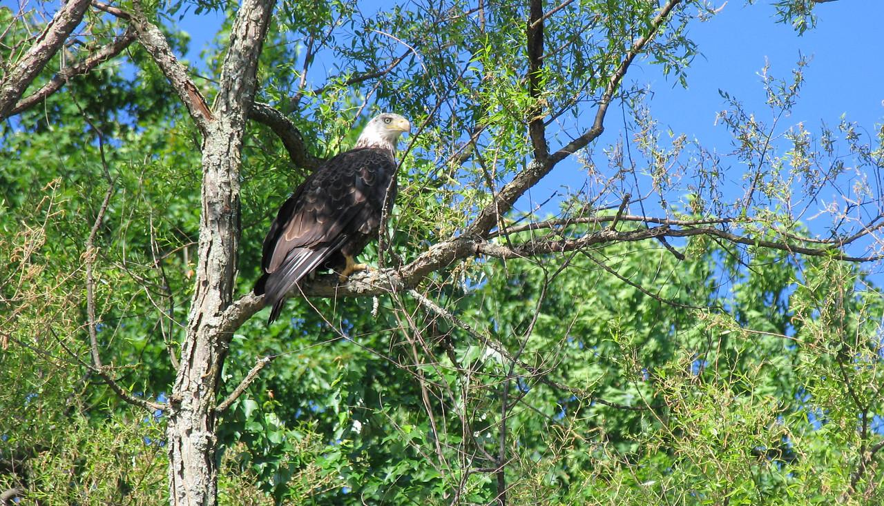 Bald Eagle - Lake Wallenpaupack - May 2004