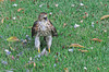 Red Tailed Hawk after a quick meal