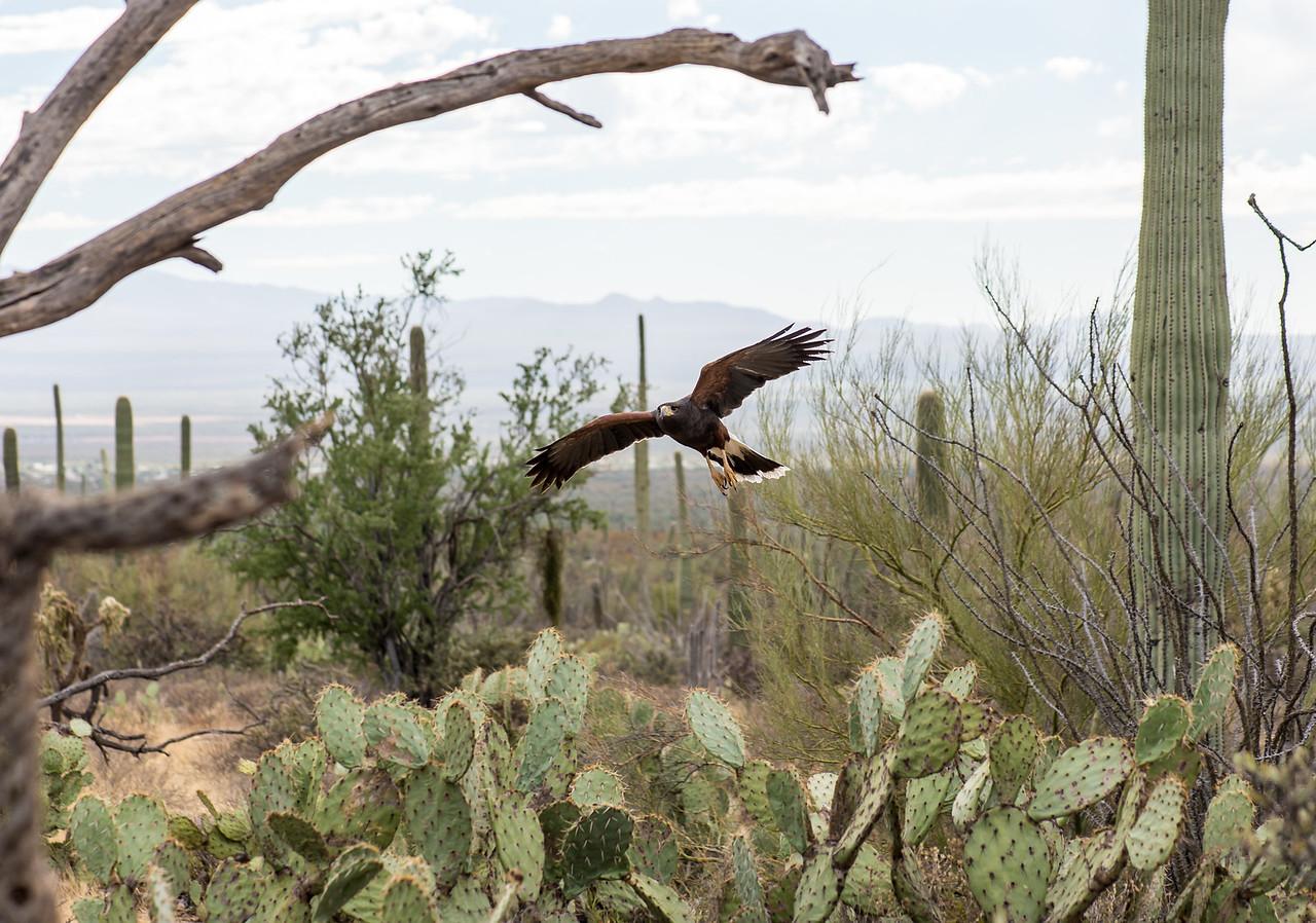 Harris's Hawk, Arizona-Sonora Desert Museum, Tucson - December 2017