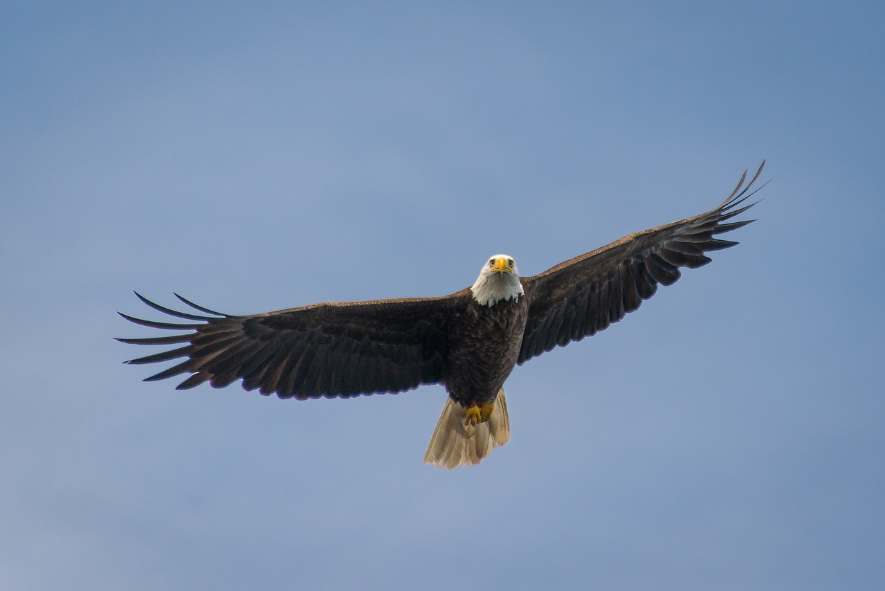 Eagle doing a fly-by on Big Lake, Grand Lake Stream, Maine - June 2015
