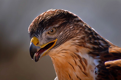 Ferruginous Hawk Portrait