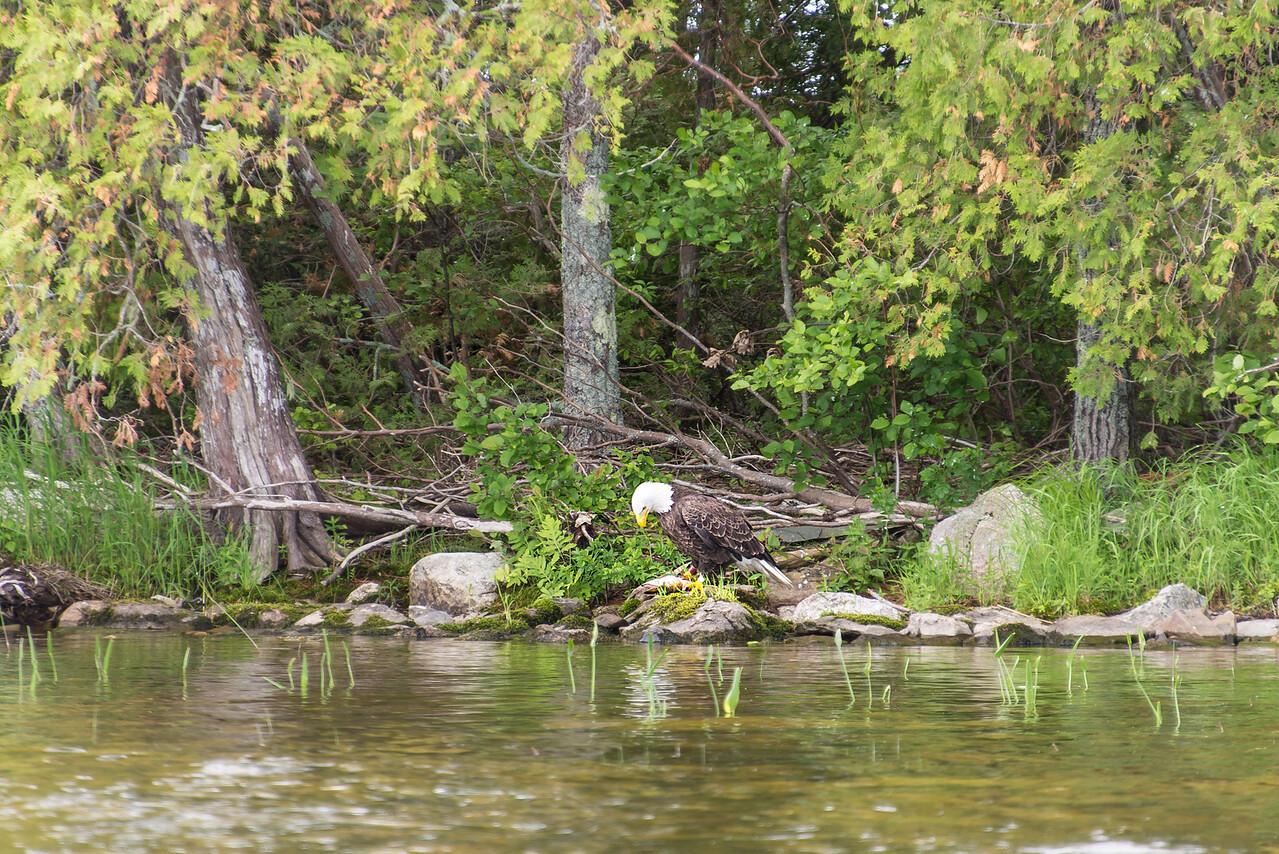 Eagle with large Pickerel on Big Lake, Grand Lake Stream, Maine - June 2015