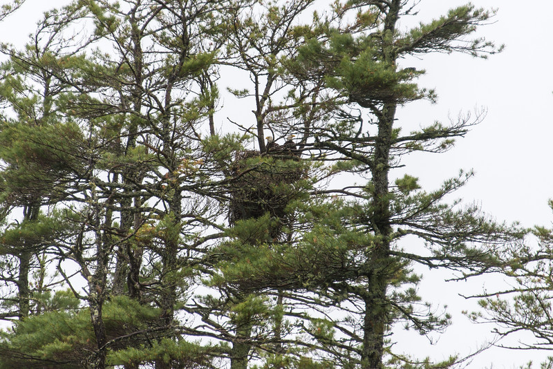 Two eagles in nest on Big Lake, Grand Lake Stream, Maine - June 2015
