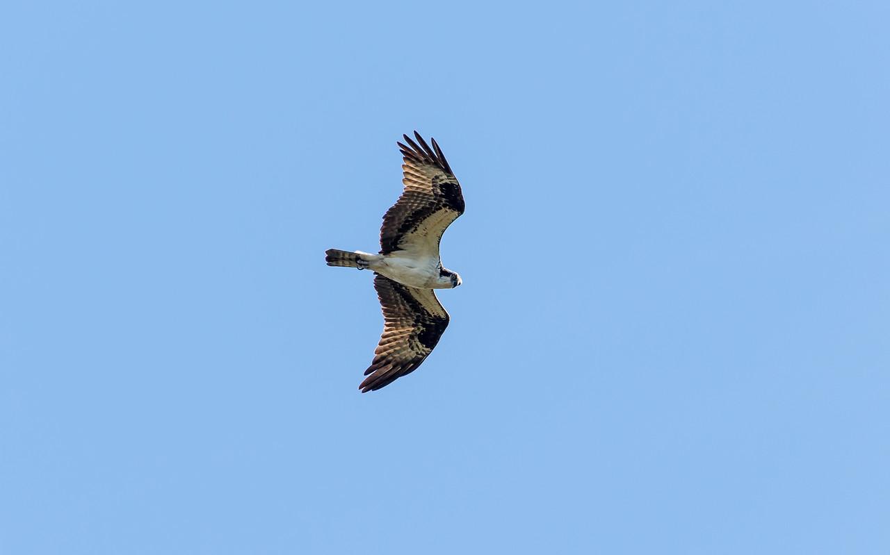 Osprey circling overhead at Ten Thousand Islands National Wildlife Refuge, FL - January 2018