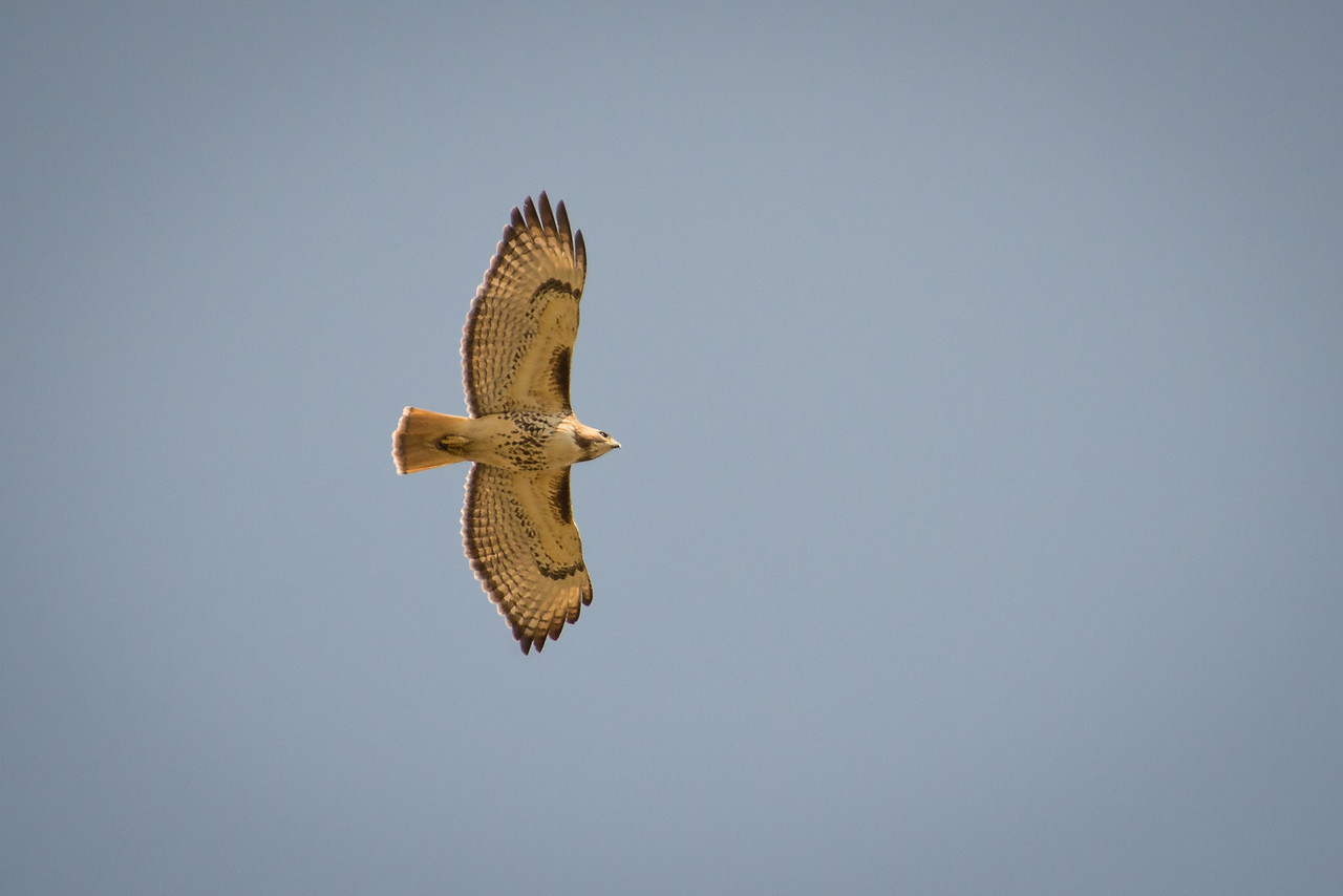 Red-Tailed Hawk flying over Wilson Farm Park - April 2013