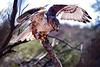 Ferruginous Hawk Landing