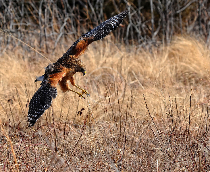 Red Tailed Hawk Swooping down for a snack
