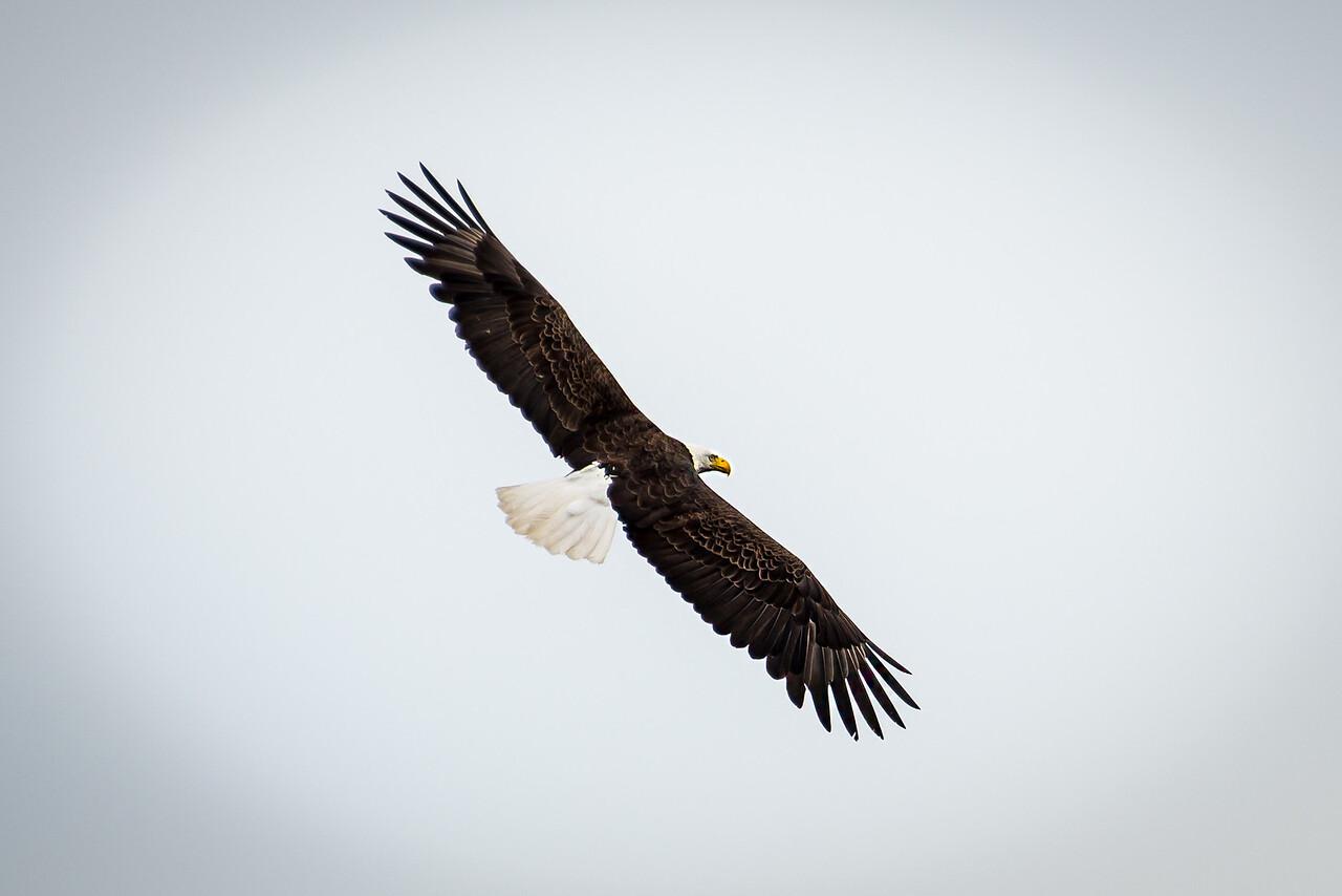 Eagle on Big Lake, Grand Lake Stream, Maine - June 2015