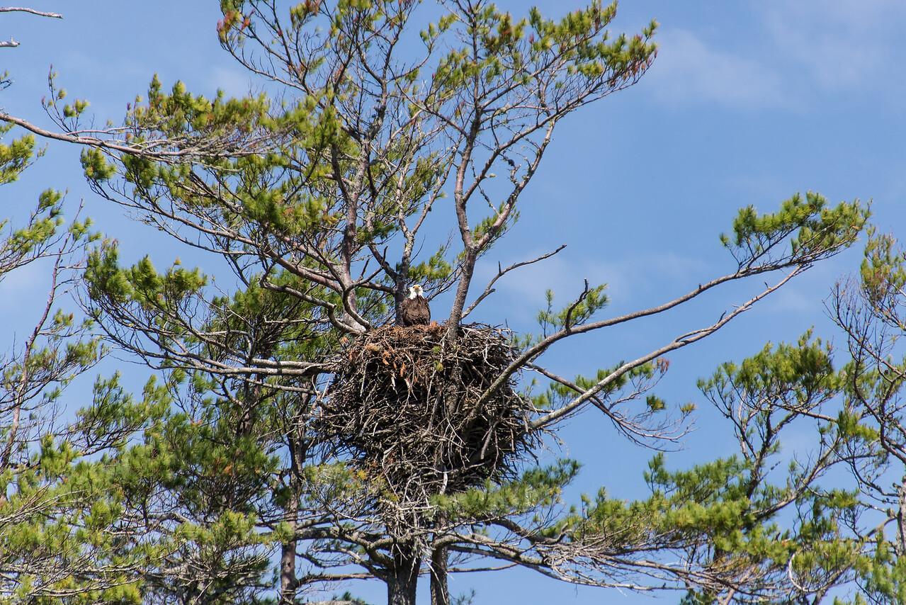 Eagle keeping watch on Big Lake, Grand Lake Stream, Maine - June 2015