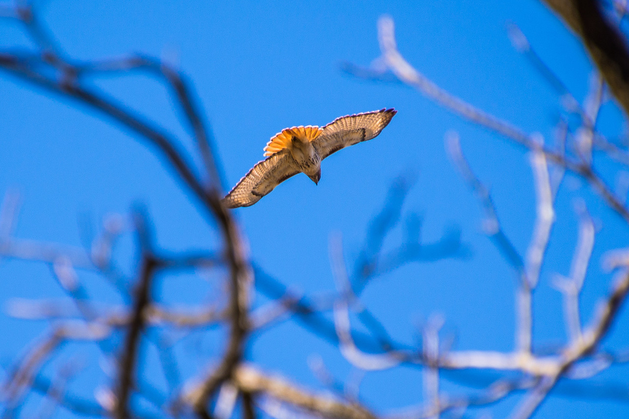 Red-Tailed Hawk, Lake Towhee - March 2013