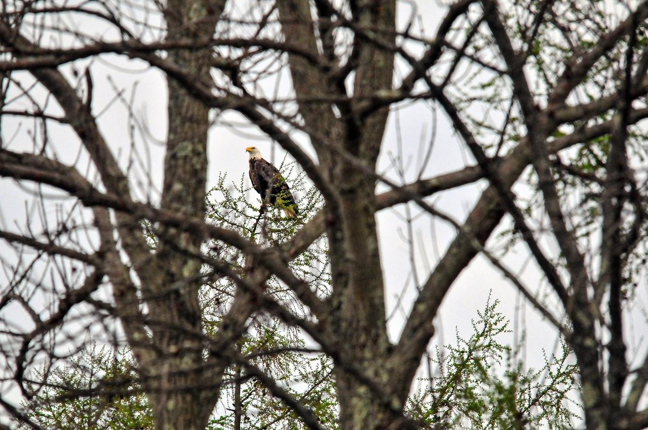 Bald Eagle, Lake Nockamixon - April 2011