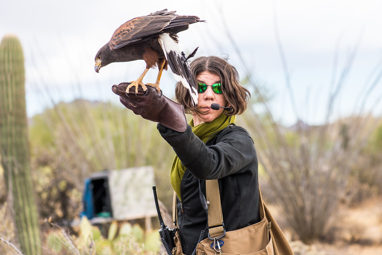 "Falconer with Harris's Hawk preparing for ""Raptor Free Flight"" demonstration at Arizona-Sonora Desert Museum, Tucson - December 2017"