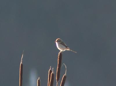 Brown Shrike wintering in Humboldt County; January 2011
