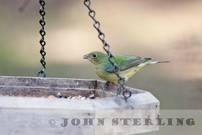 Painted Bunting in Stockton, CA; Feb. 2011