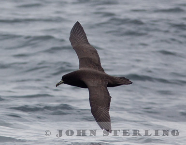 White-chinned Petrel off San Mateo, CA 18 October 2009; 1st CA record