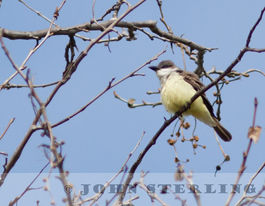 Thick-billed Kingbird; San Diego area in Jan. 2011