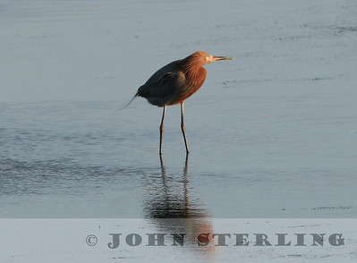 Reddish Egret; Bolsa Chica, Orange County; January 2006