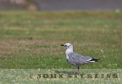 Laughing Gull in Marin during Feb. 2011
