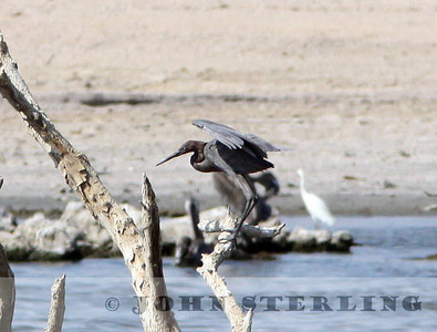 Reddish Egret; south Salton Sea, Imperial County; August 2009