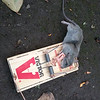 A good rat is a dead one.<br /> V for victory!!!