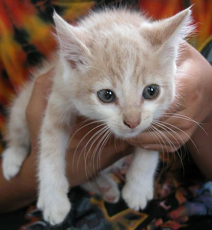 STILL LOOKING FOR THE RIGHT FAMILY...<br /> Cream & White Tabby- Male- Approx. 6 weeks old  #CWT-M-13-06-04-002<br /> Sweet, easy going little boy.  Purrs with delight, when held.  Loves to play.  Used to be shy, but no longer...  I am looking for someone to give me just some of the love, I want to give them.