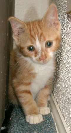 Orange Tabby with White Belly, Chest, Nose Stripe and Cream Paws- Male- <br /> Approx 6-8 weeks old    #OWT-M-13-06-04-005<br /> Always playful, and eager to be loved.<br /> PLACED- Sunday 27 June 2004<br /> Named:  CHIPOLTE