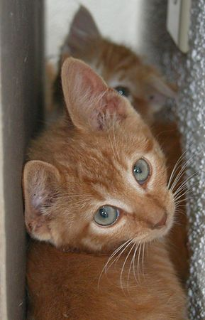 Orange Tabby with White Belly and Paws-Male- Approx 6-8 weeks old <br /> #OWT-M-13-06-04-003<br /> Gentle and loving, likes to be held.<br /> PLACED- Sunday 27 June 2004<br /> Named: