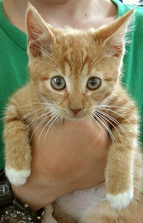 Orange Tabby with White Belly, Eye Rings and Paws-Male- Approx 6-8 weeks old    #OWT-M-13-06-04-004<br /> Playful, likes to be held, but ready to go.<br /> PLACED- Sunday 27 June 2004<br /> Named:  RUFFLES